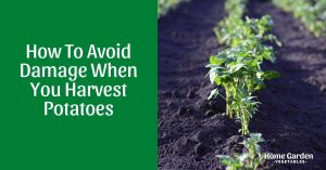How To Avoid Damage When You Harvest Potatoes