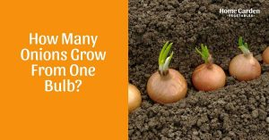 How Many Onions Grow From One Bulb?