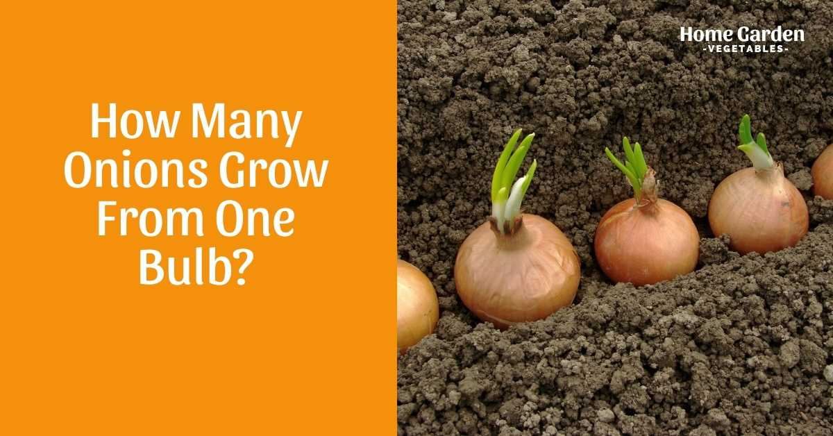 How Many Onions Grow From One Bulb