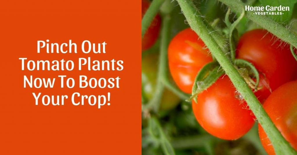 pinch out tomato plants