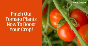 Pinch Out Tomato Plants Now To Boost Your Crop!