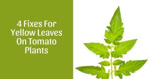 How Do You Fix Yellow Leaves On Tomato Plants?
