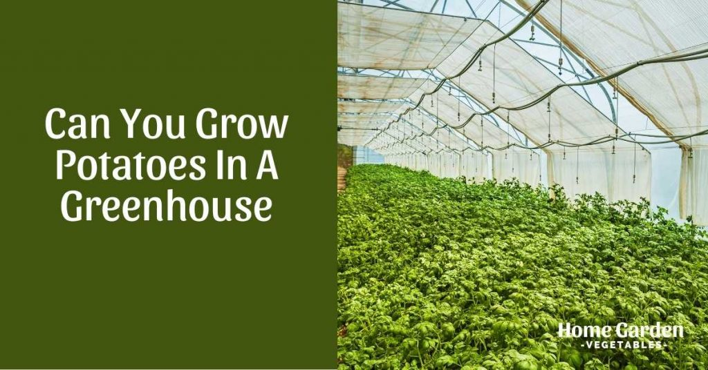 Grow Potatoes in a greenhouse