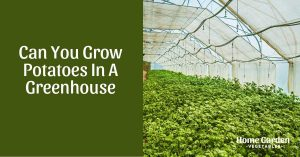 Can You Grow Potatoes In A Greenhouse