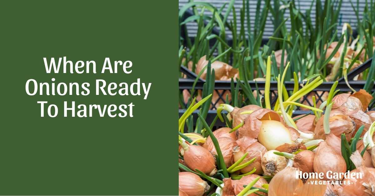 when are onions ready to harvest