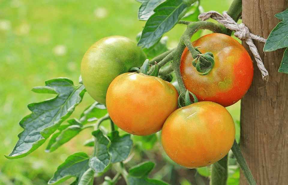 how deep do you plant tomatoes