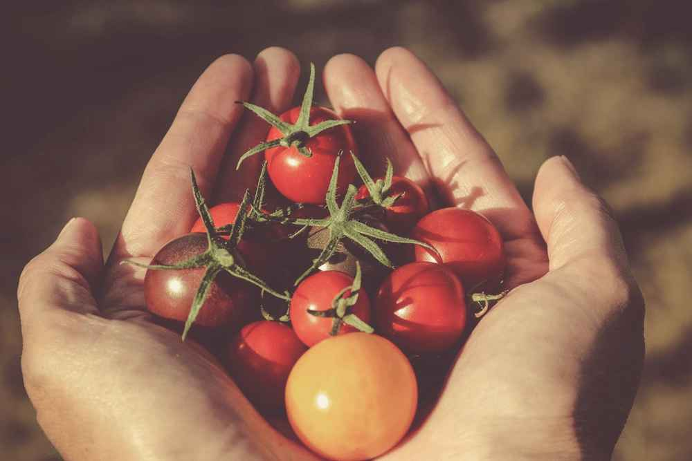 Grow Tomatoes In Buckets