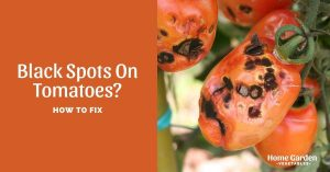 How To Fix Black Spots On Tomatoes