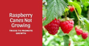 Raspberry Canes Not Growing: Tricks To Promote Growth