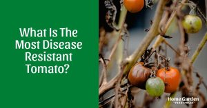 Choosing The Most Disease Resistant Tomato For Your Garden