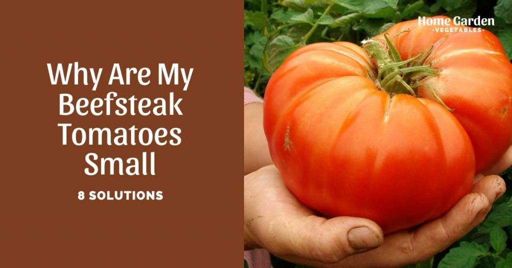 why are my beefsteak tomatoes small