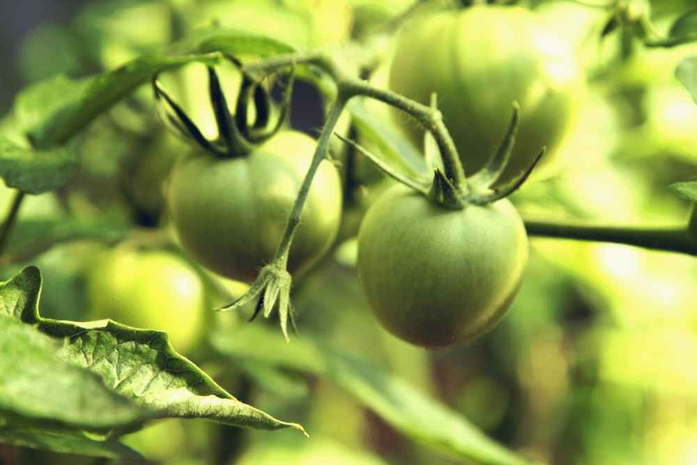 When Are Green Tomatoes Ready To Pick