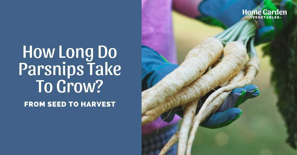 How Long Do Parsnips Take To Grow