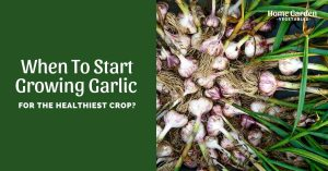 When To Start Growing Garlic For The Healthiest Crop?