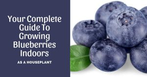 Your Complete Guide To Growing Blueberries Indoors Year-Round As A Houseplant