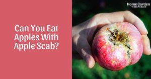 Can You Eat Apples With Apple Scab?