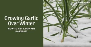Growing Garlic Over Winter: How To Get A Bumper Harvest?