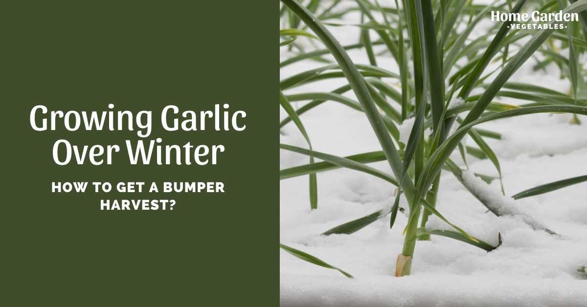 Growing Garlic Over Winter