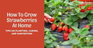 How To Grow Strawberries At Home: Tips On Planting, Caring, And Harvesting