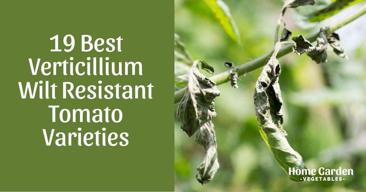 Verticillium Wilt Resistant Tomato Varieties