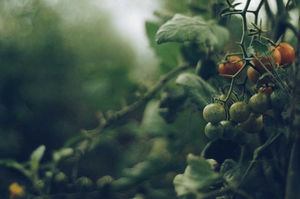 tomato plant diseases and treatment