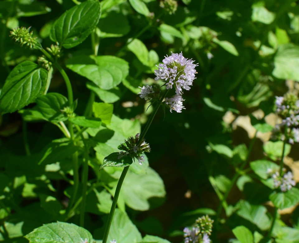 why is my mint flowering