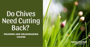Do Chives Need Cutting Back? Pruning And Deadheading Chives