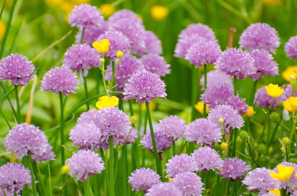 Do Chives Need Cutting Back
