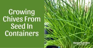 Growing Chives From Seed In Containers - 3 Easy Steps