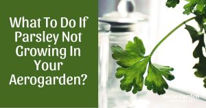 What To Do If Parsley Not Growing In Your Aerogarden?