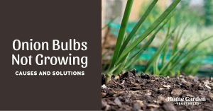 Why Are Your Onion Bulbs Not Growing?