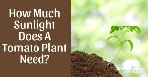 How Much Sunlight Does A Tomato Plant Need?