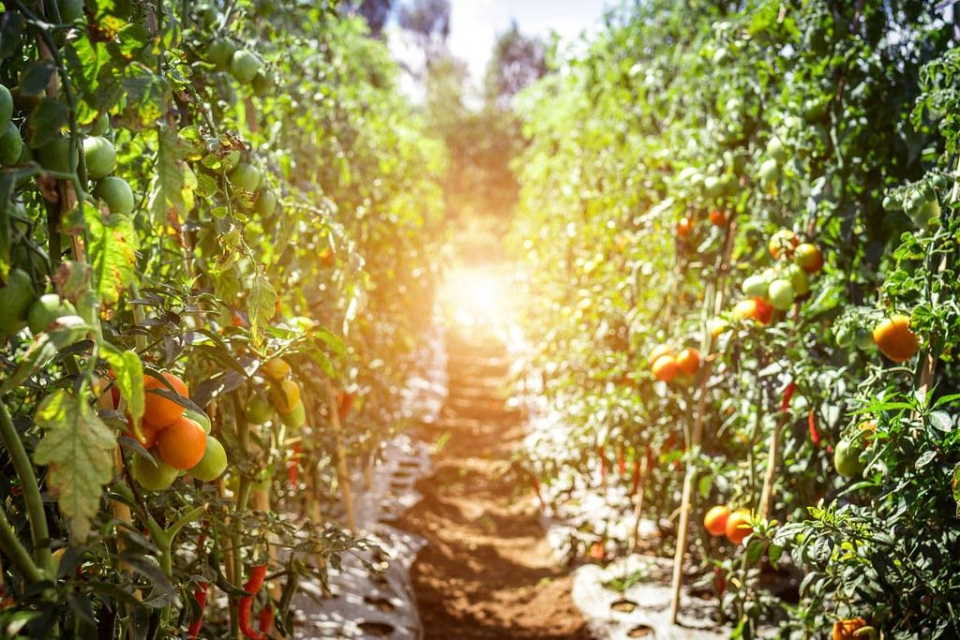 How Much Sunlight Does A Tomato Plant Need