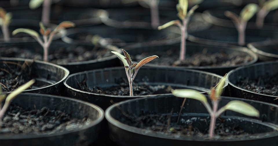 How To Grow Tomatoes From Seed
