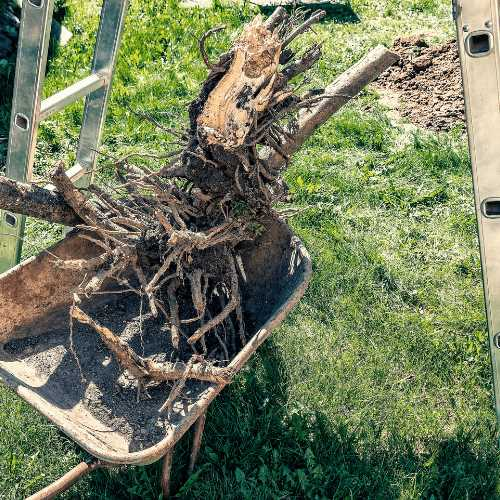 how to save a dying apple tree