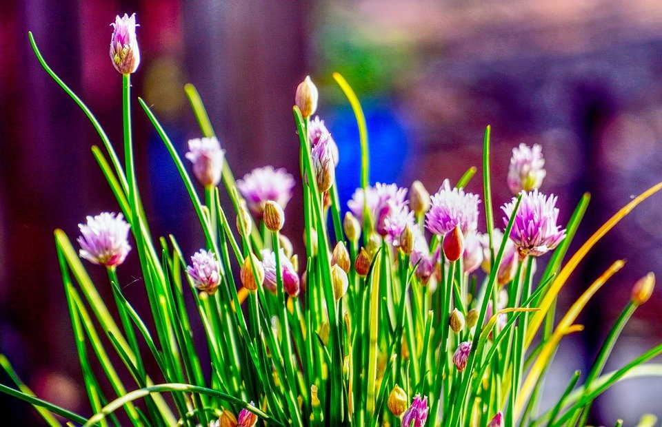 Growing Chives From Seed