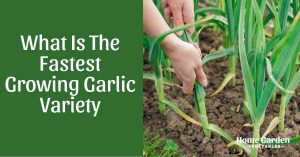 What Is The Fastest Growing Garlic Variety - 7 Varieties To Try!