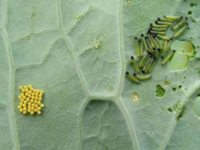 Are Cabbage White Caterpillars Poisonous To Humans