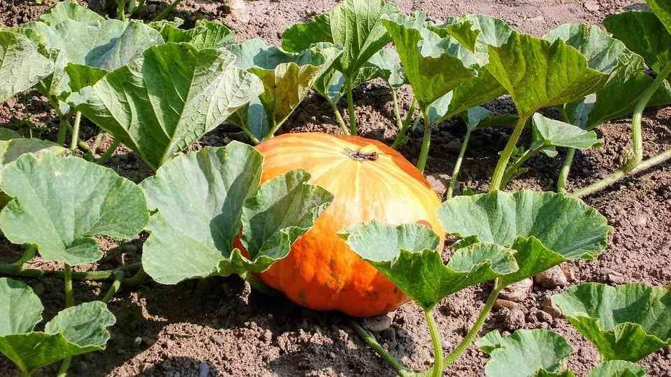 pumpkins growing in clay soil