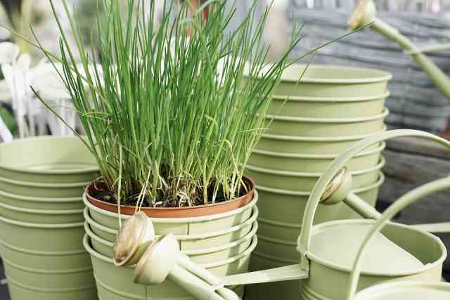 Can You Split Chives