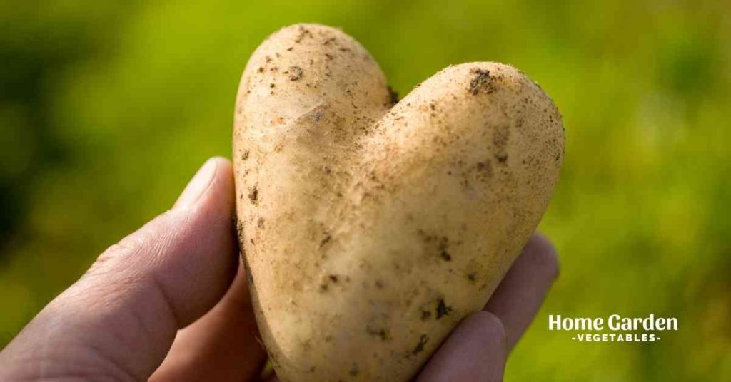 How Many Potatoes Grow From One Seed Potato