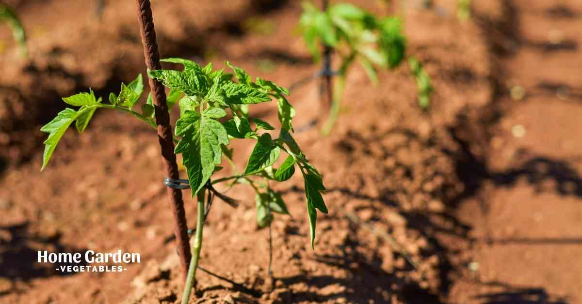 Can Tomato Plants Grow In Clay Soil