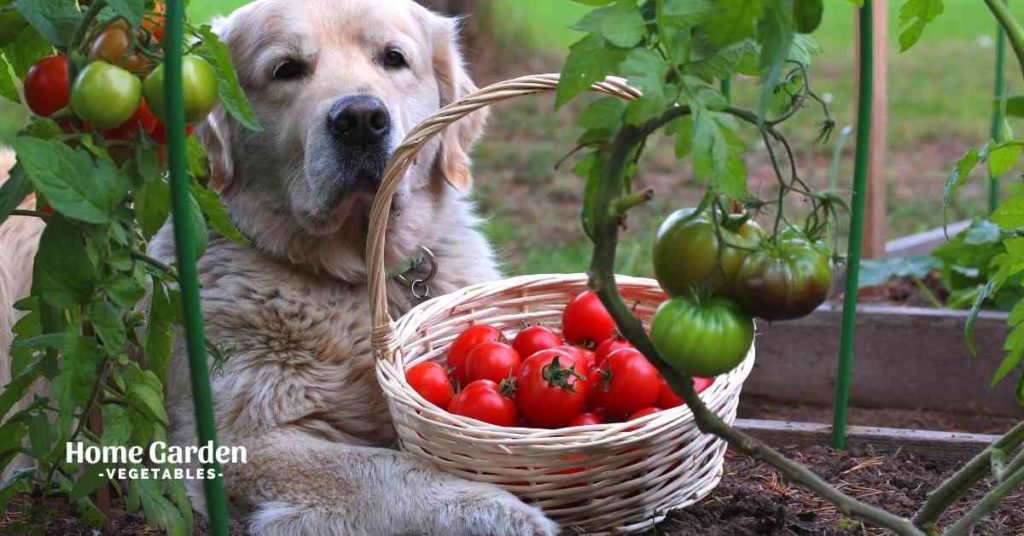 Are Tomato Plants Toxic To Dogs