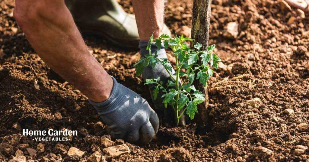 Mulch For Tomato Plants