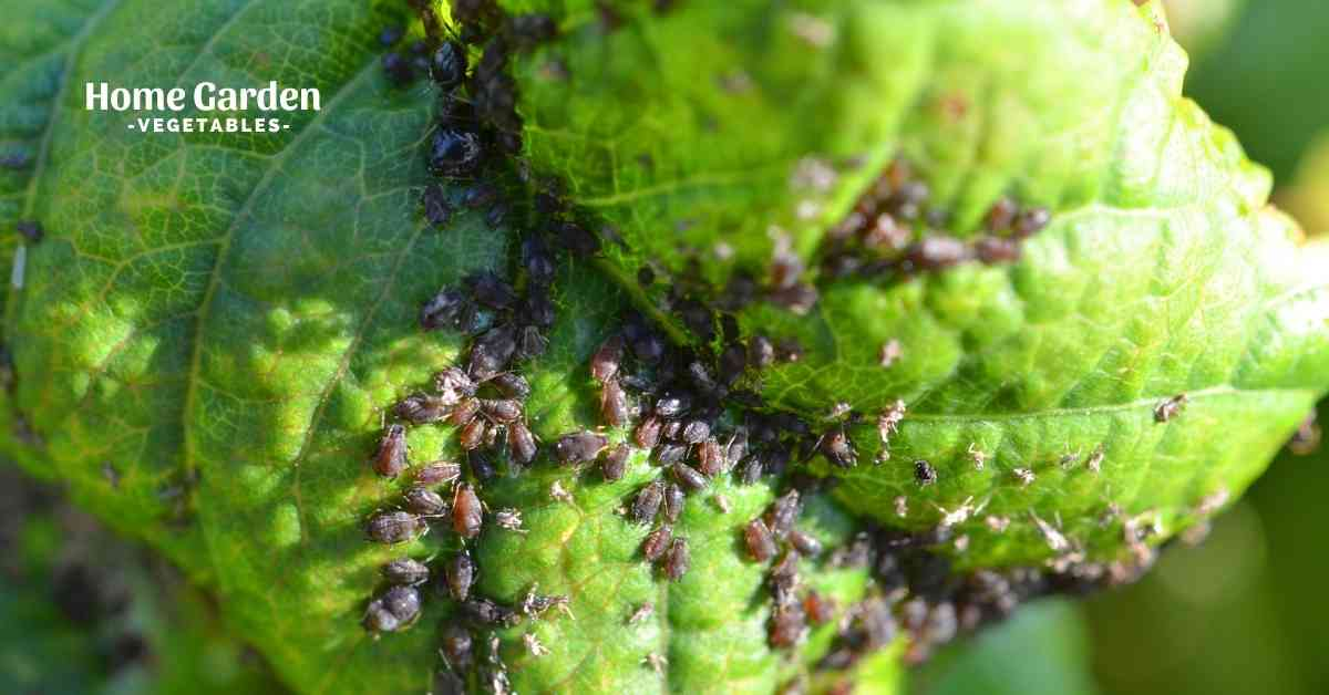 How To Get Rid Of Aphids In Vegetable Garden
