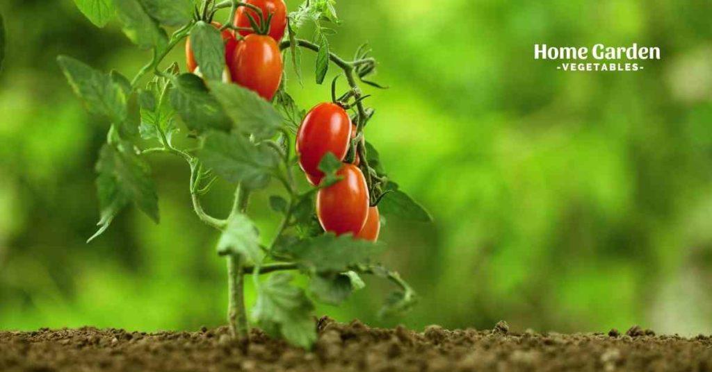 Make Tomato Plants Grow Faster