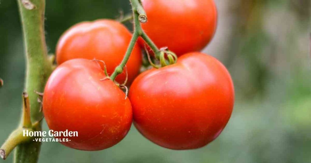 How To Rotate Tomato Crops