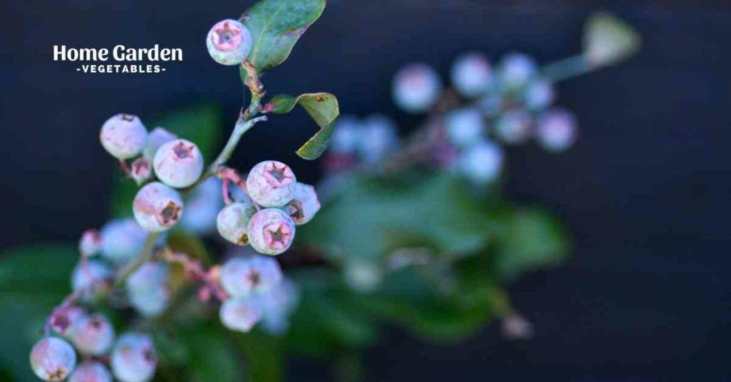 List Of Blueberry Highbush Varieties