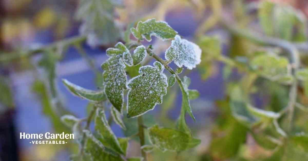 What Is The Coldest Temperature Tomato Plants Can Handle