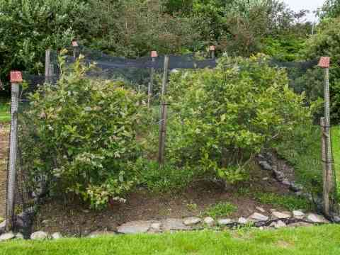 Protect Blueberry Bushes From Birds